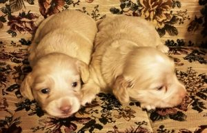 Gevalia had two beautiul longhair cream puppies March 29th. They are both on hold at this time.
