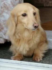 I am a very sweet and loveble longhair cream doxie.
