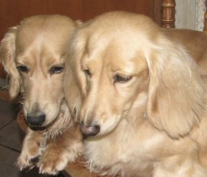 Duke is the dad, Penni the mom. Both longhair creams.